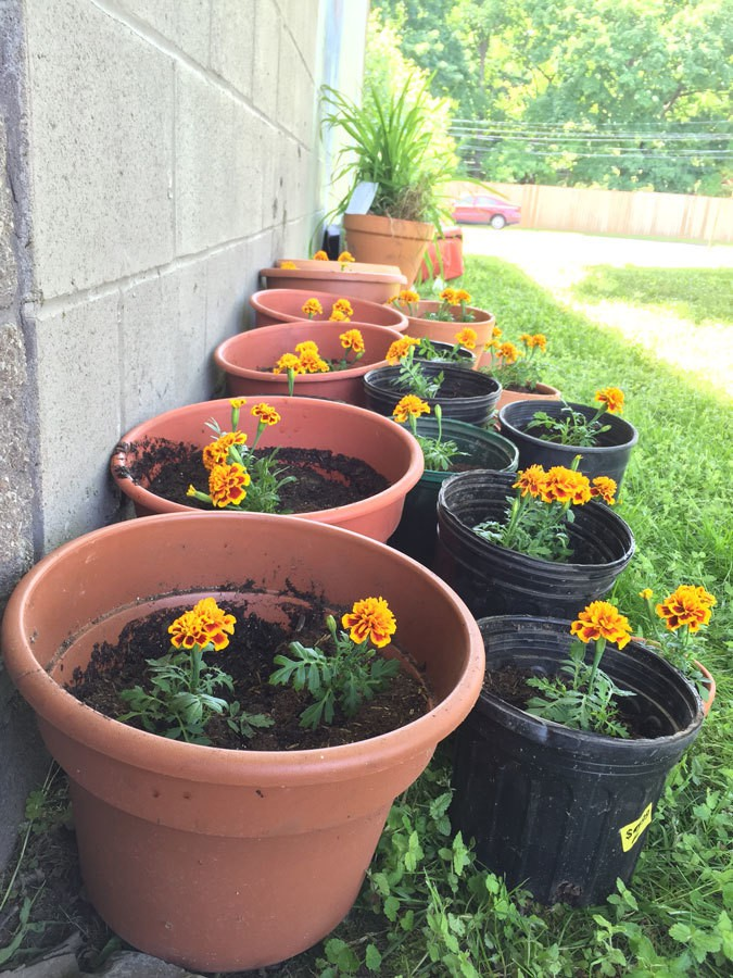 All the marigolds happy in their pots after the ceremonial flower planting at the Pop Up Community Event