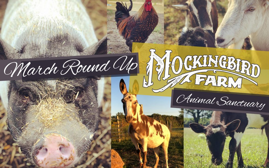 March 2021: Mockingbird Animal Sanctuary